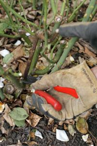 pruning PUB0004503_774294
