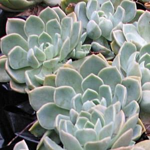 Rock Rose Succulent Echeveria Glauca